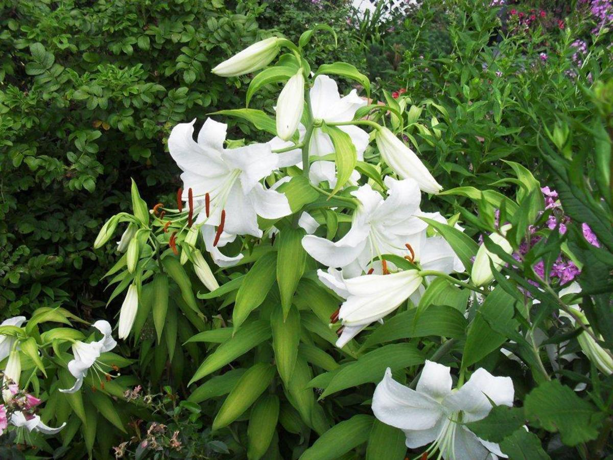 Dont forget lilies for fall planting growing things wcfcourier white lilies izmirmasajfo