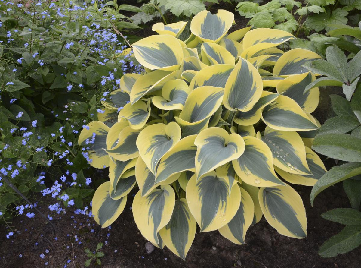 hosta autumn frost.jpg