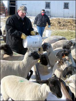 Profit opportunities raising sheep