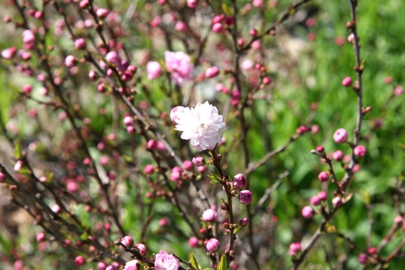 Flowering almonds frothy pink blooms are seductive plants shrubs flowering almond mightylinksfo Images