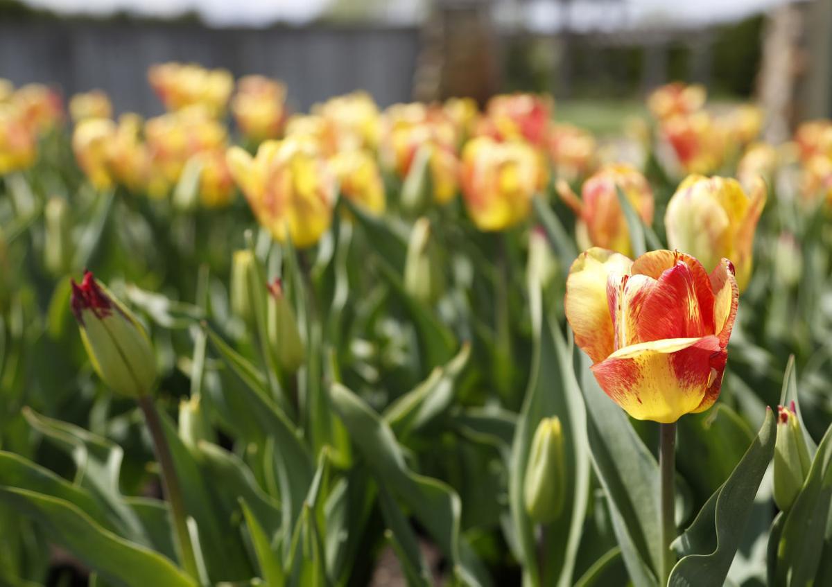 050316mp-tulip-time-4