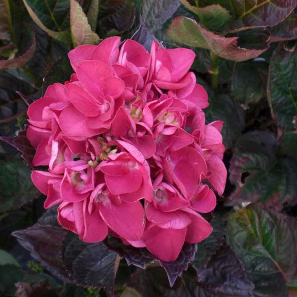 color-fantasy-hydrangea-red