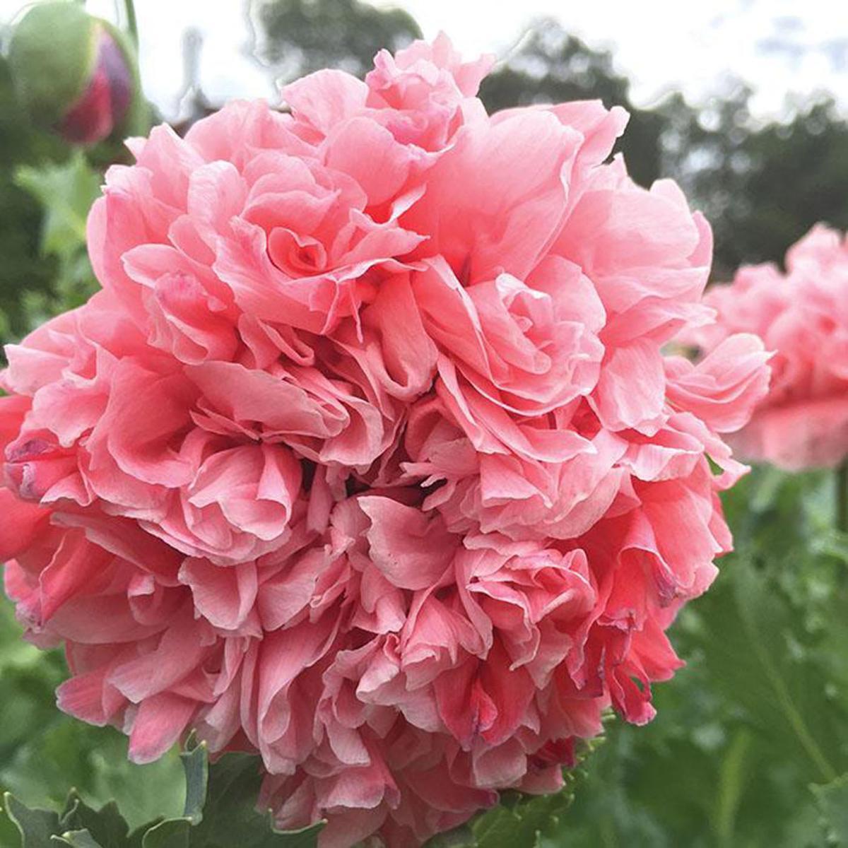 poppy-sallies-double-pink