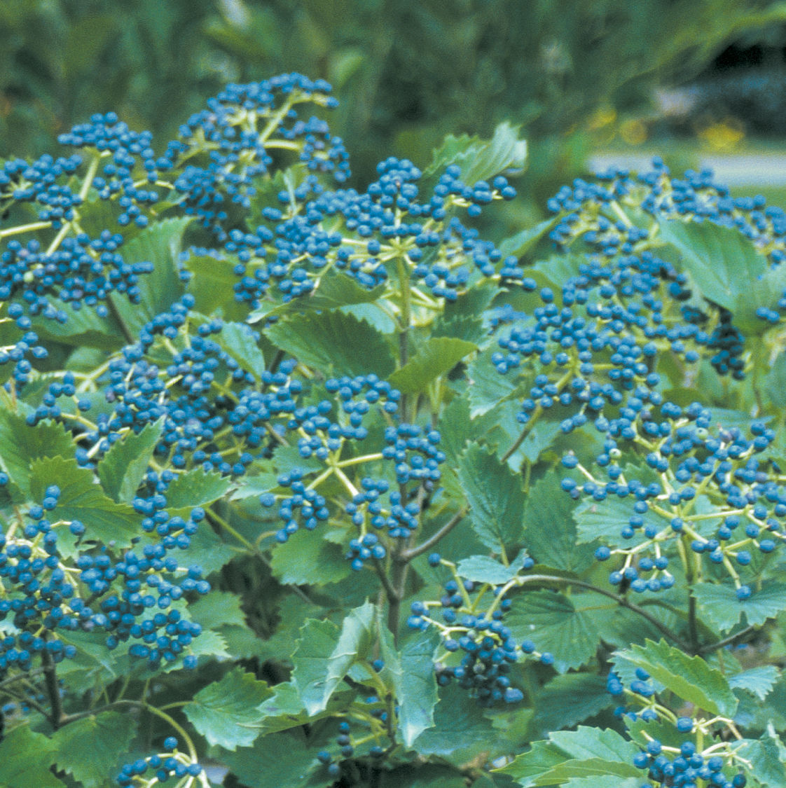 6 Berry Good Shrubs For Winter Interest Wcfcourier Com