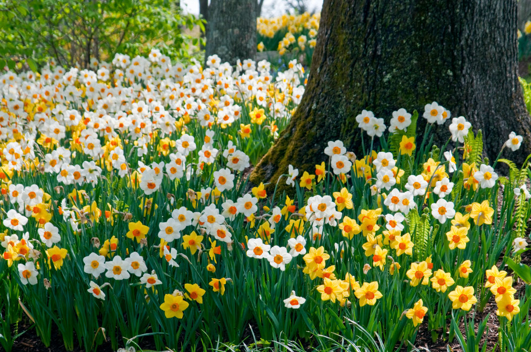 Foil squirrels and other rodents by planting bad tasting spring daffodils sunshine boys mightylinksfo