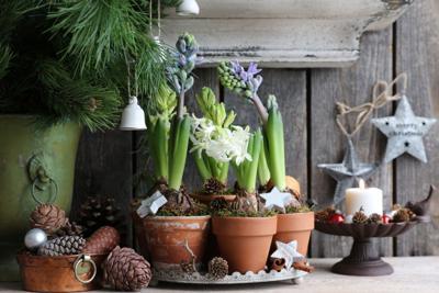 forcing-hyacinths.jpg