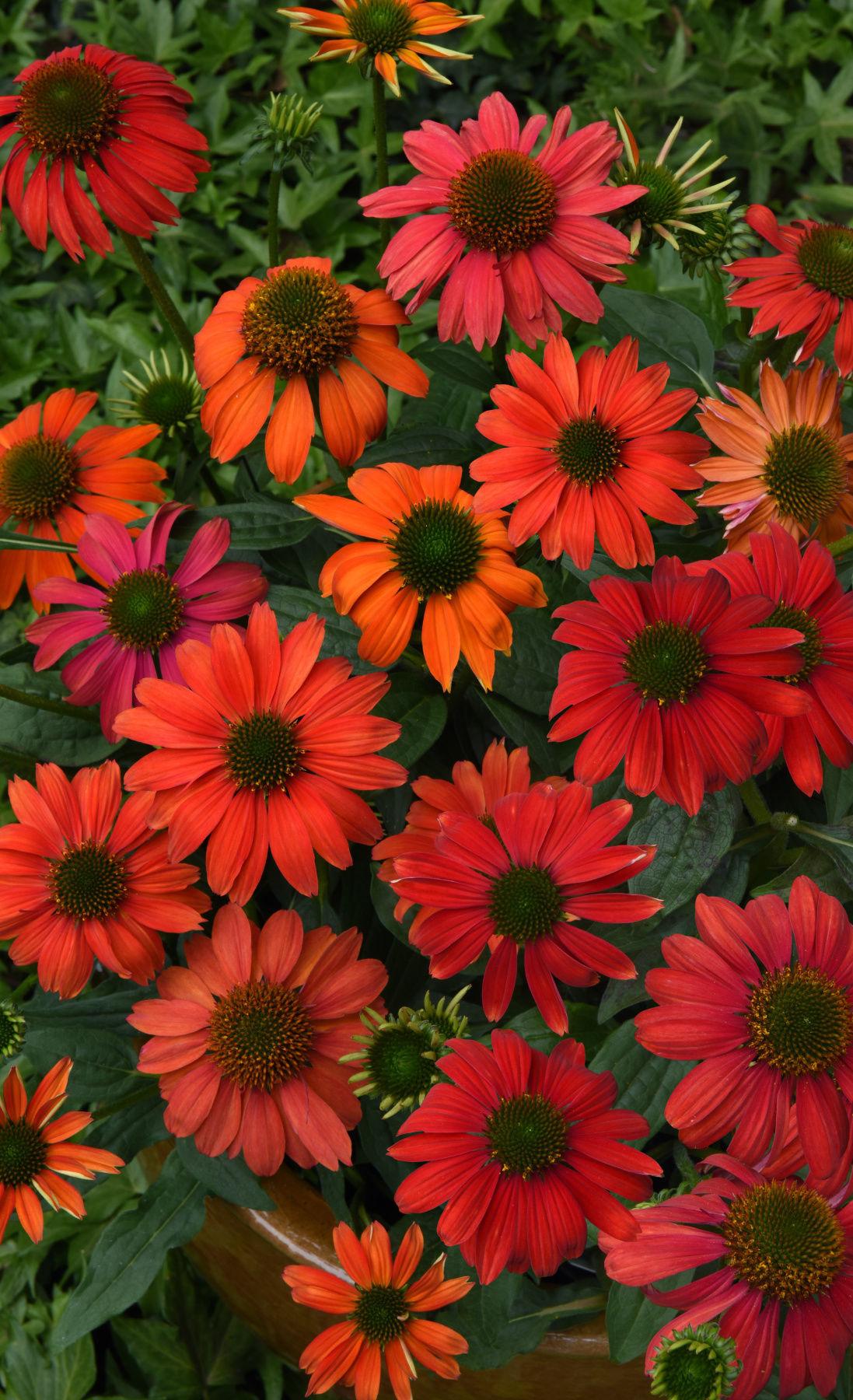 santa-fe-coneflower-perennials.jpg