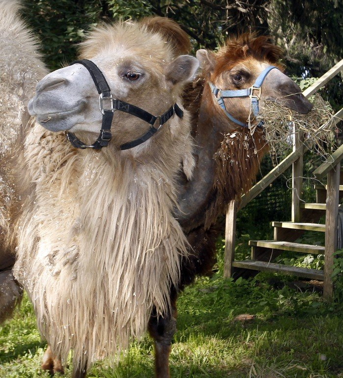 Bactrian camels on a road trip