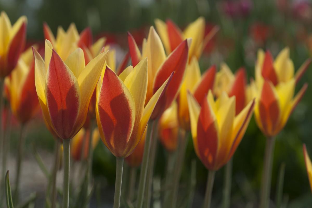 Tulipa clusiana 'Tubergen's Gem' - Species or Wild Tulip