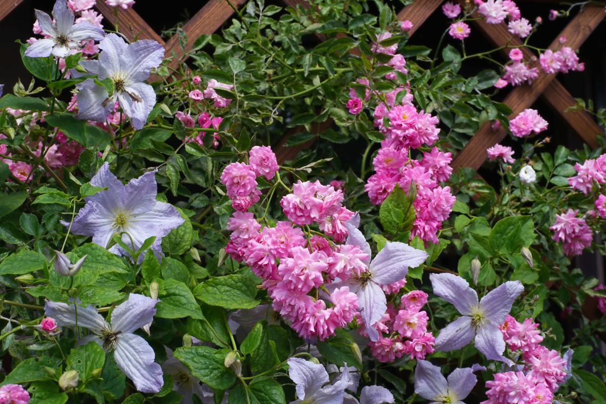 Zephirine Drouhin Climbing Rose play matchmaker: pair rose, clematis for sweet romance