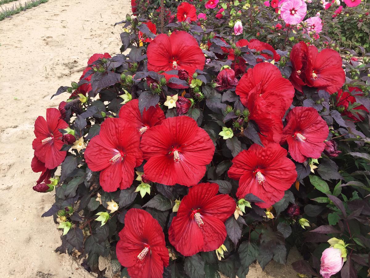 hibiscus-holy-grail.jpg