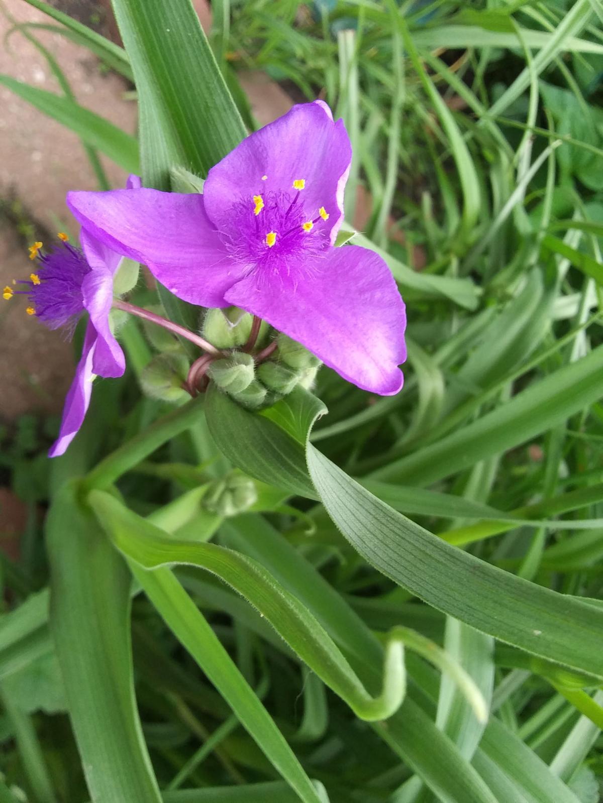 spiderwort plant.jpg