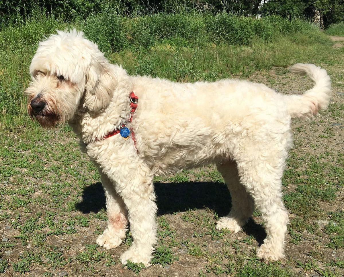 Try guessing dog breeds for science on Mutt Mix quiz | Lifestyles