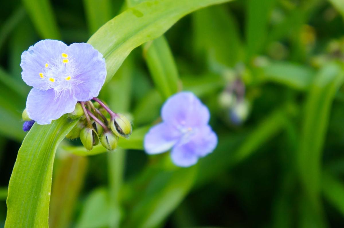spiderwort-2
