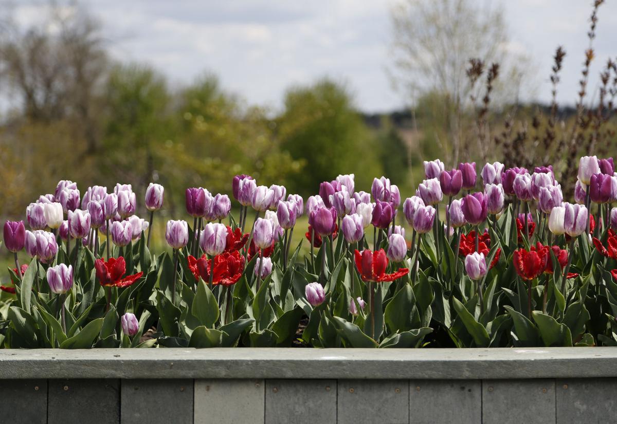 050316mp-tulip-time-6
