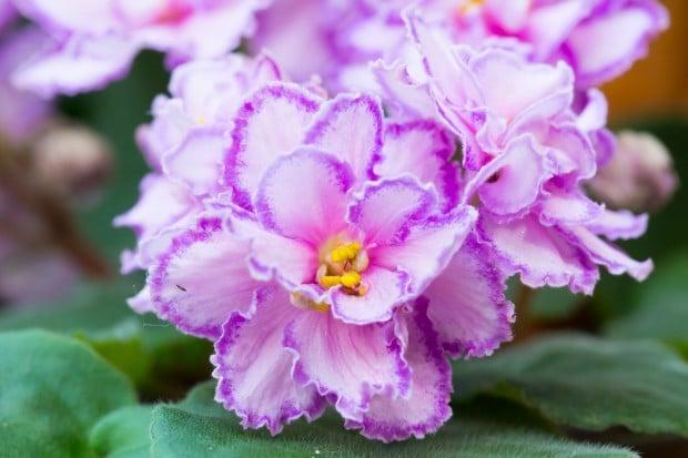 african violet - African Violets