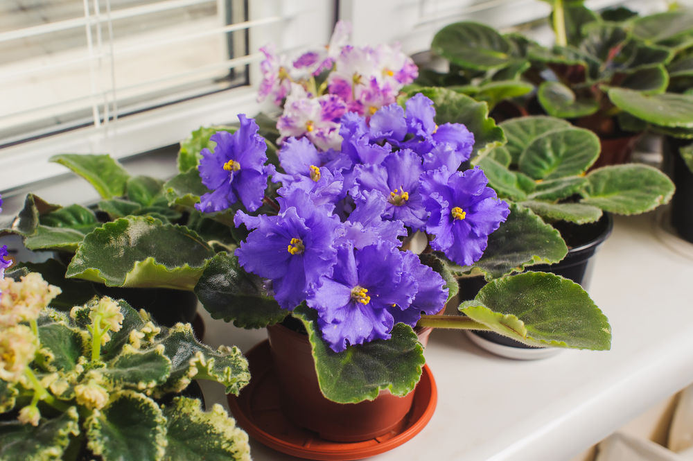 african-violets-on-windowsill
