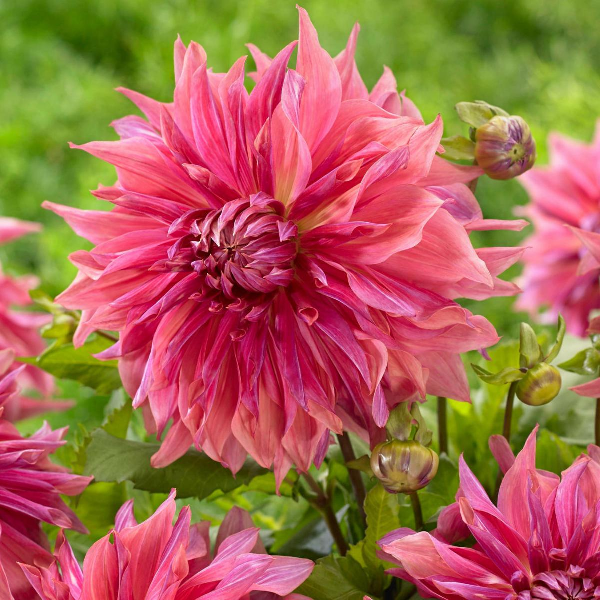 Glorious Dahlia Varieties Are Worth The Wait Lifestyles
