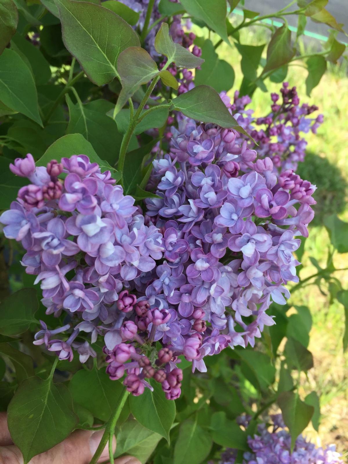 scentara-lilac