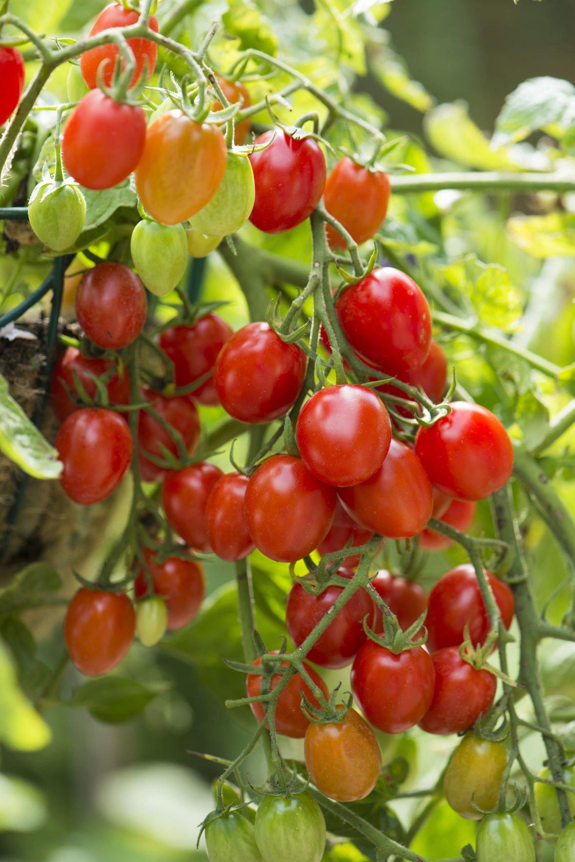 Tomato_Fantastico-onVine-1-resize.jpg