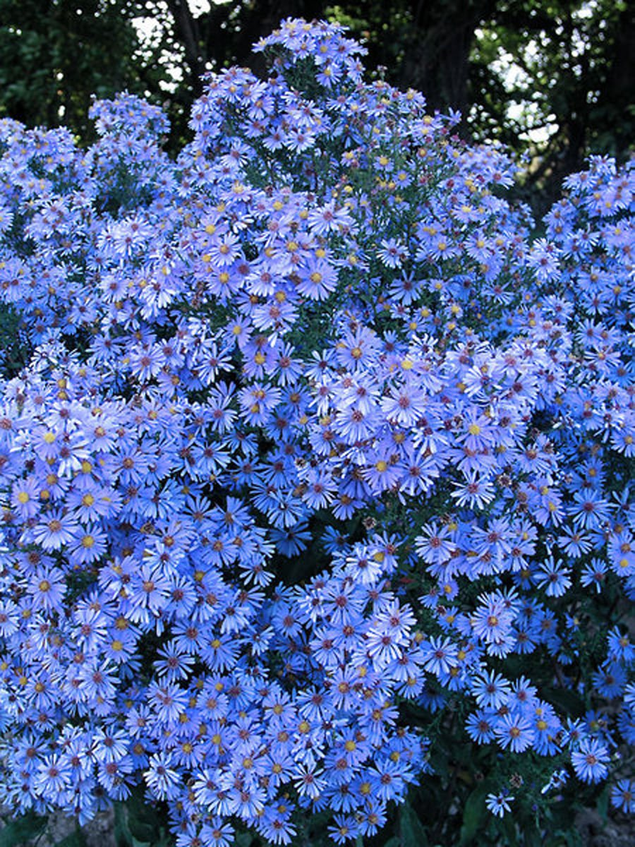 Add Cheer To Autumn Gardens With Colorful Asters Gardening