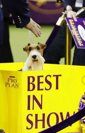 King the wire fox terrier takes Westminster's best in show