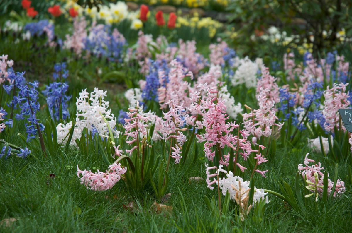 multi-flowering-hyacinths