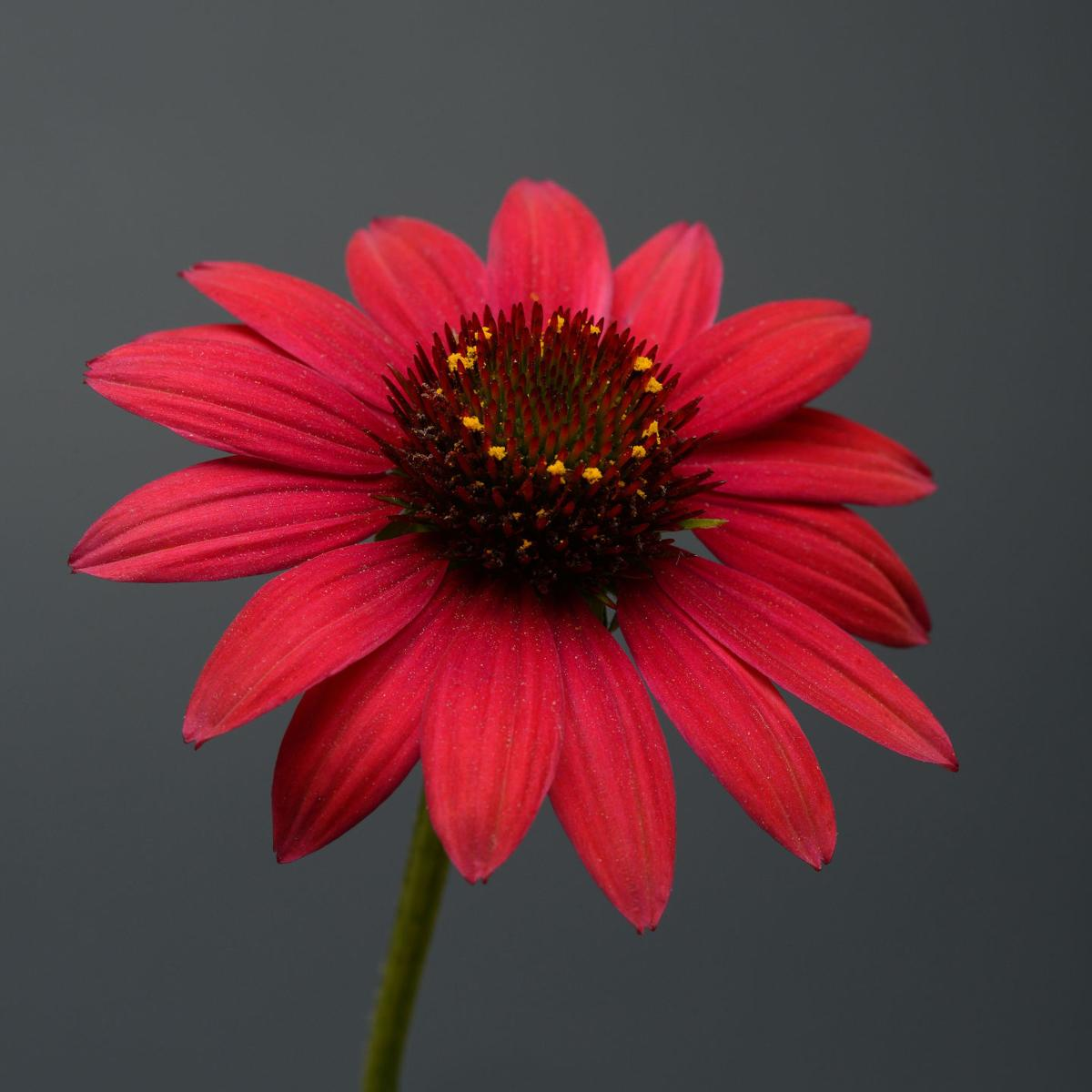 New Rudbeckia Echinacea Varieties Win All America Selection