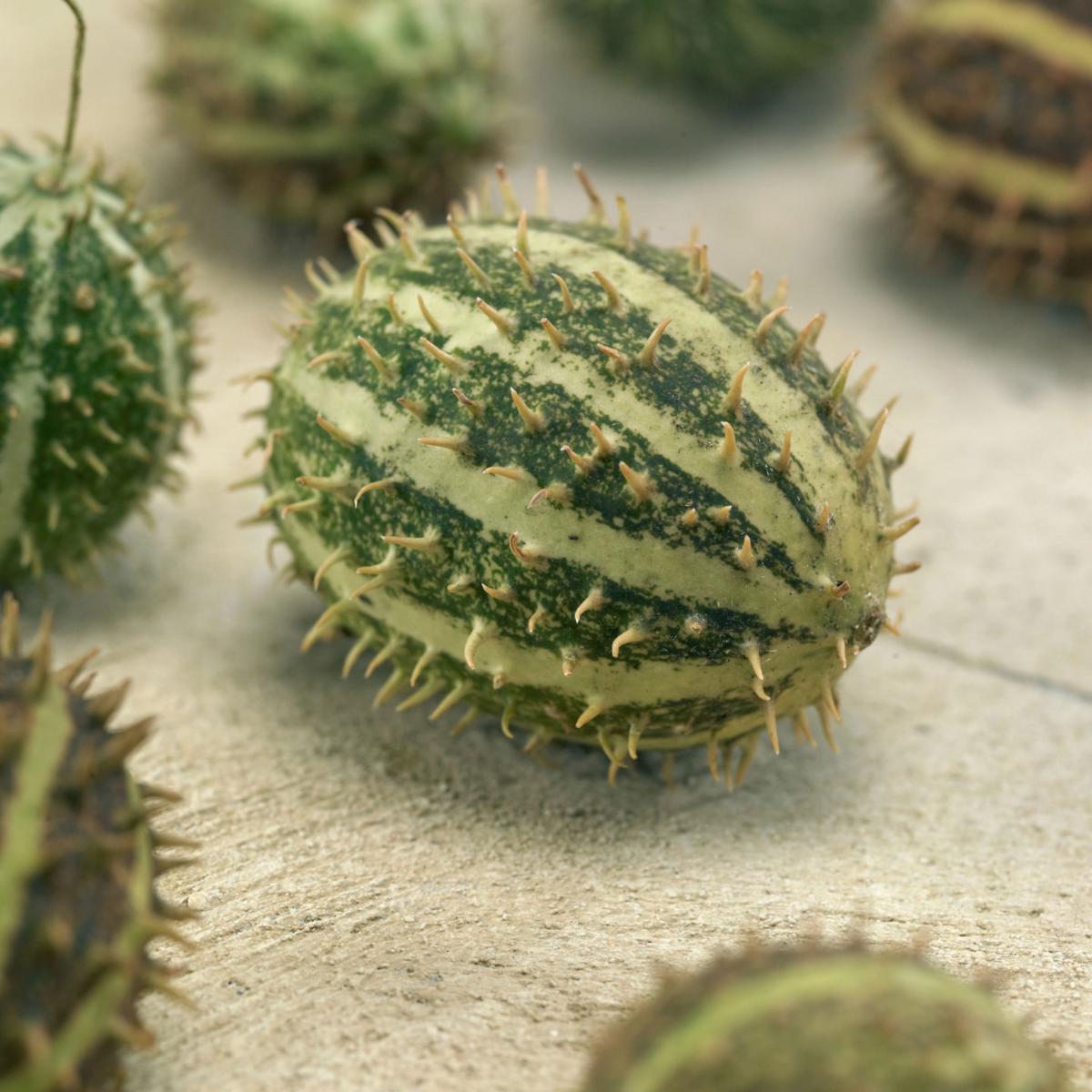 cucumber-bush-hog