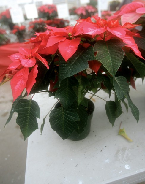 Poinsettia Power Polar Bear And Ice Punch Are New Varieties