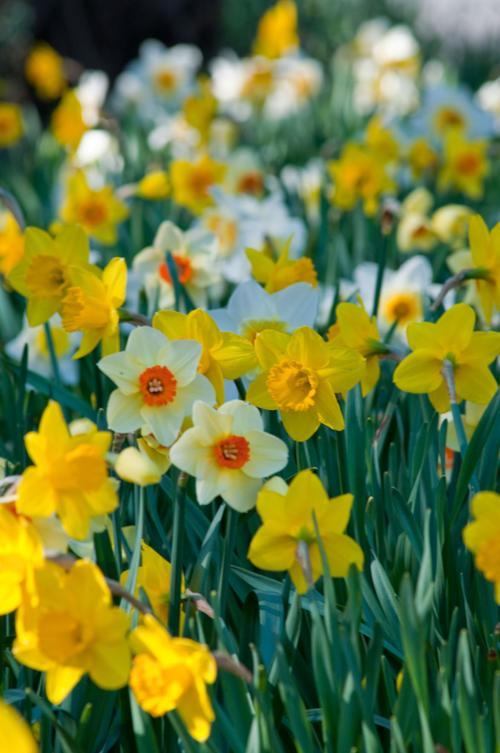 Colorblends Daffodil Blend Spring Loaded, CU