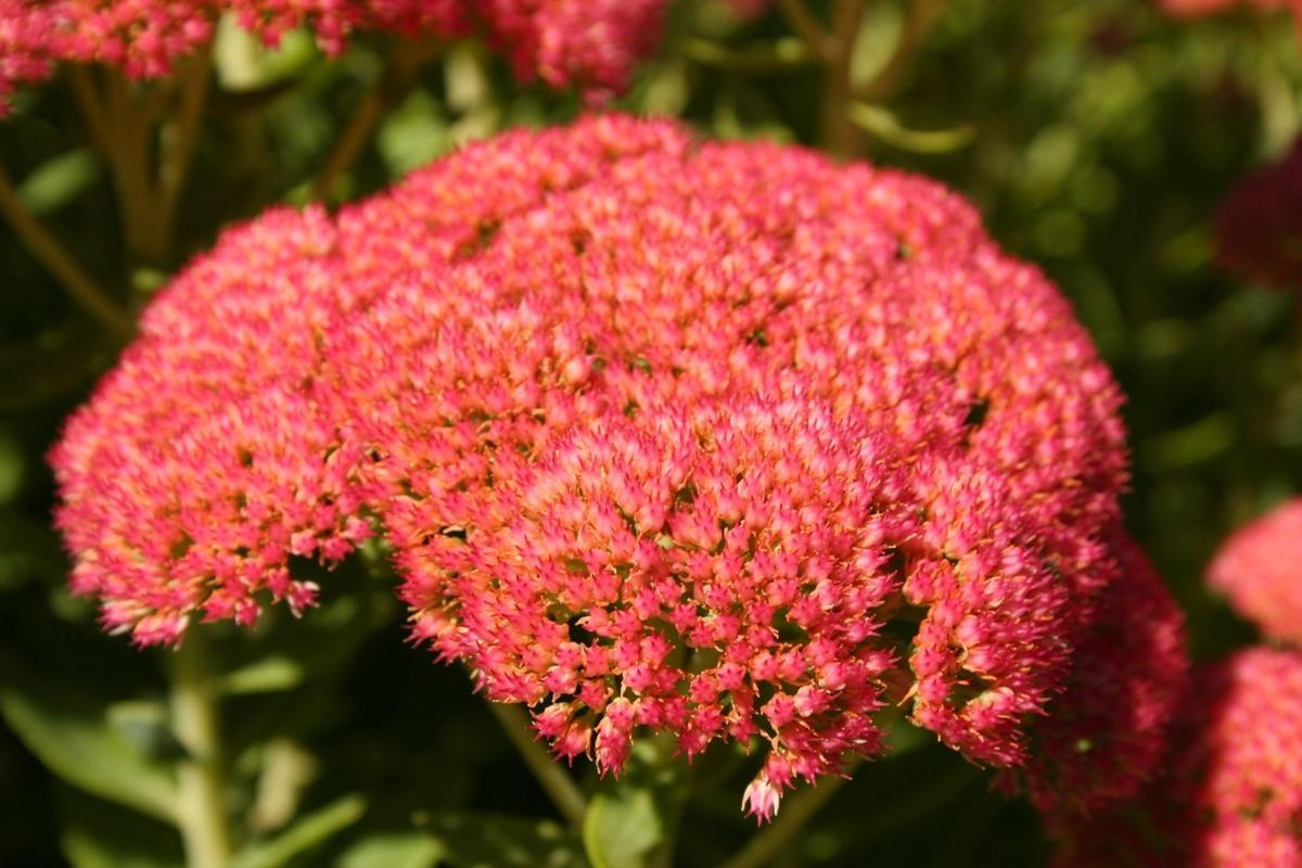 Sedum Buy Some And Brighten Fall Perennial Garden With Flowers