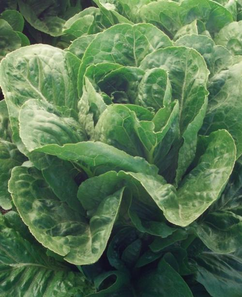 Lettuce Grow Lettuce August Is For Planting Leafy Fall Crops