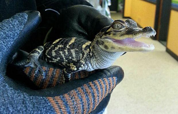 Waterloo Animal Control saves alligator