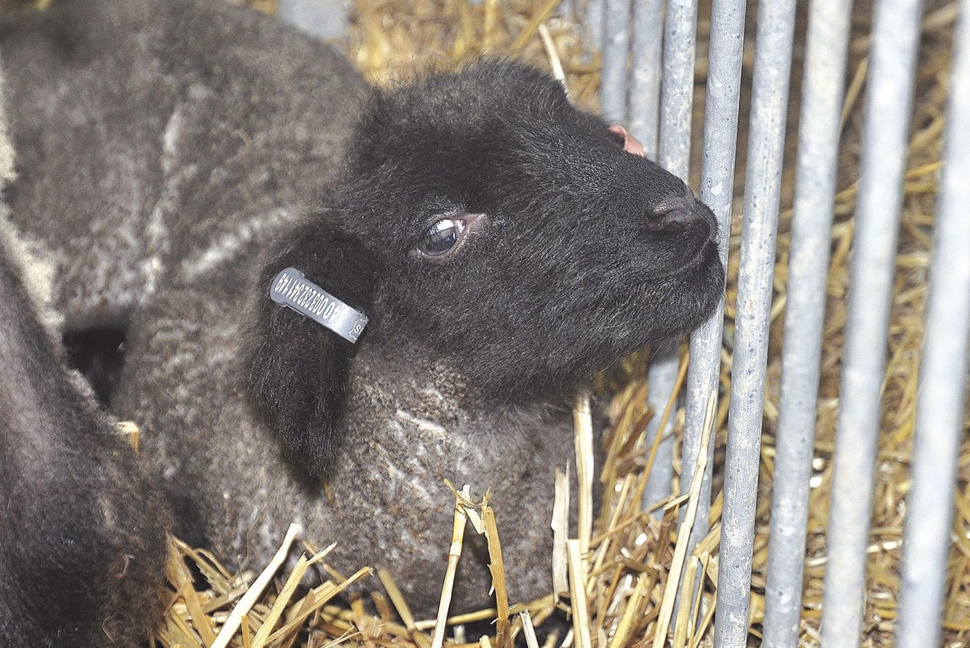 Sheep and Wool Festival