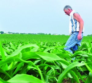 Corn is knee high by Fourth of July