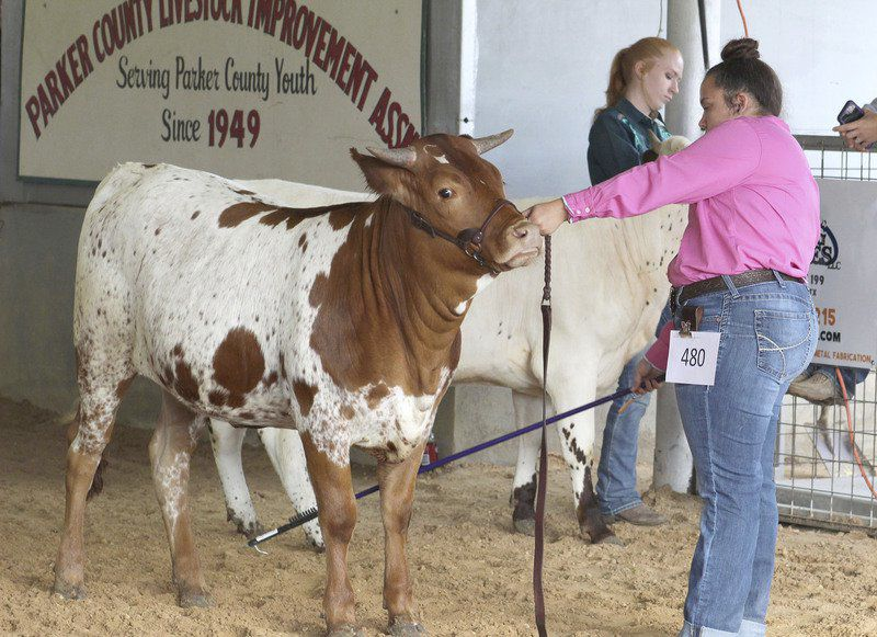 Livestock show heifer competition champions discuss experiences