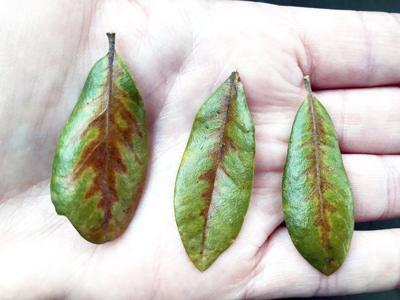 Texas oak wilt season: Officials advise halting oak tree pruning through June