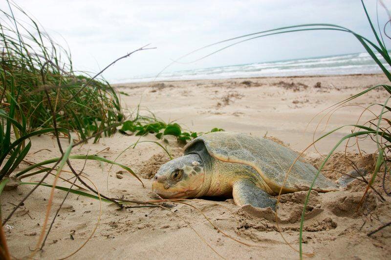 Sea turtle nesting season begins; Texas coast visitors asked to be observant