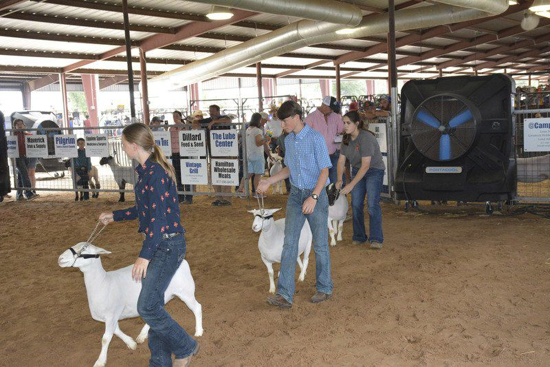 Youth take part in steer, lamb livestock competitions
