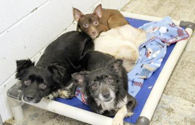 Sixty dogs surrendered after owner's death
