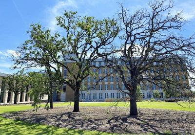 Oak trees still recovering from winter storm