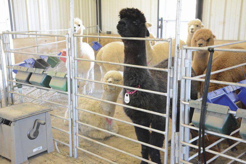 Alpaca farm draws thousands of visitors to Aledo