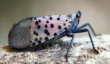 DEEP: Lanternfly could be 'devastating' to CT's agriculture