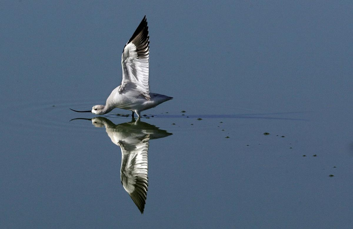 Robert Miller: How to get in on rare bird visits to Connecticut