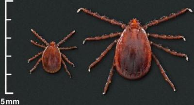 Population of invasive tick species discovered in Fairfield County