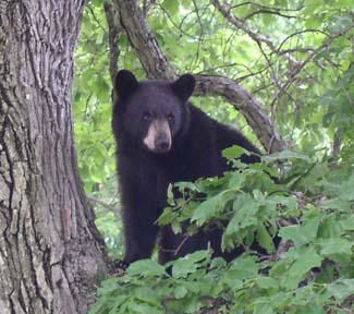 Jacqueline Smith: Don't kill bears in Connecticut for being bears