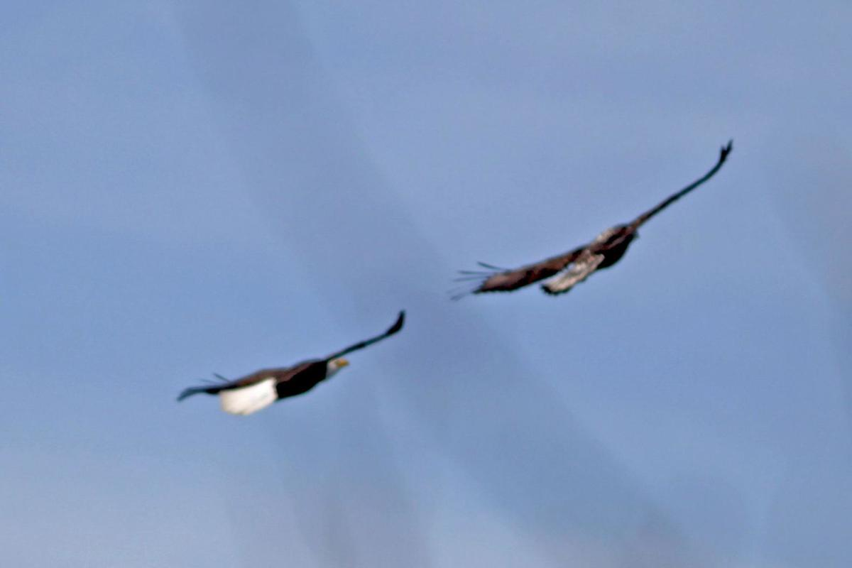 Bald eagle population soaring across Connecticut