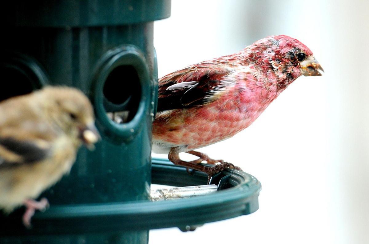 Robert Miller: The comings and goings of backyard birds