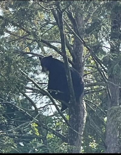 Bear stuck in tree for days latest of 'nonstop' sightings in West Hartford